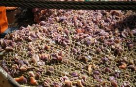 Pesca de arrastre de langostinos - Golfo San Jorge Foto: Claudia Muniain
