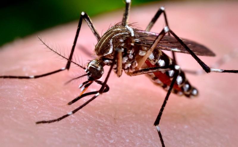 mosquito_aegypti_0