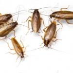 Jornada sobre estrategias para el control de la cucaracha <i>Blattella germanica</i>