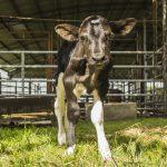 Investigadores de la UNSAM y el INTA logran un avance clave en la edición génica de bovinos