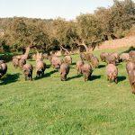 Peste porcina africana: Una crisis con impacto global